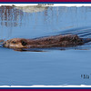 American Beaver - April 20, 2008 - Eastern Passage, NS