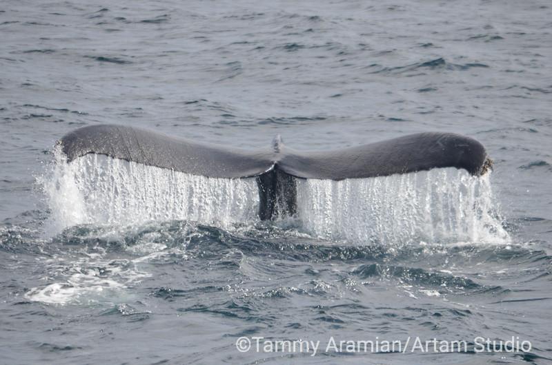 humpback whale tail fluke, Monterey Bay,  August 2014