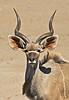 Kudu, Etosha National park, Namibia