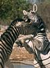 Zebra Dispute, Etosha National Park, Namibia
