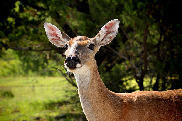 Close-up of a female white-tailed deer (a.k.a. whitetail deer; Odocoileus virginianus) as she looks at the camera (2009_05_22_020080_c)