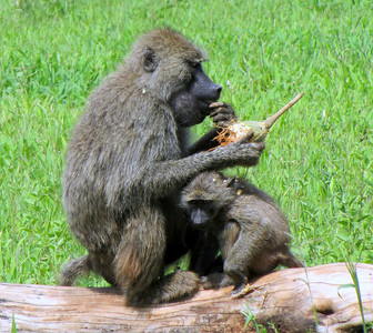 Olive baboon w/ youngster