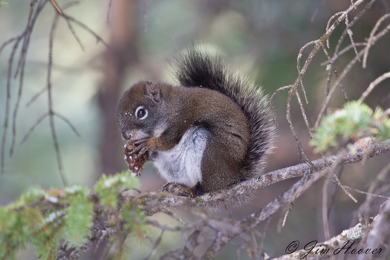 Douglas' Squirrel<br /> Rocky Mountain National Park