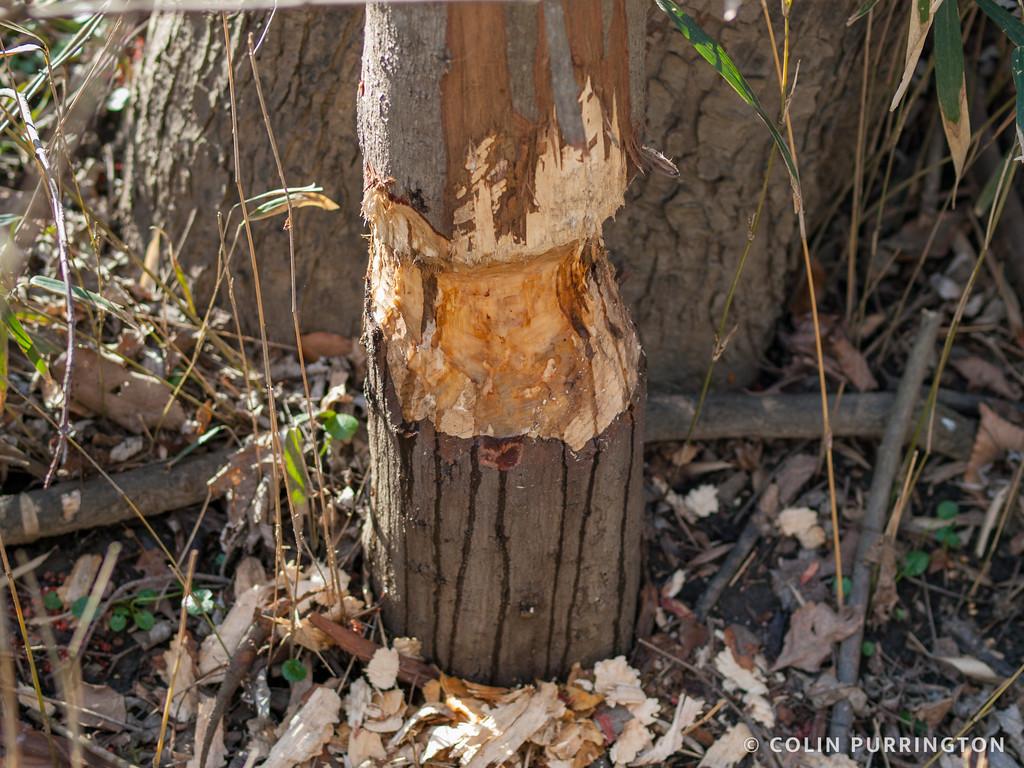 Beaver-gnawed tree