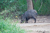 Collared Peccary<br /> Bentsen State Park, TX