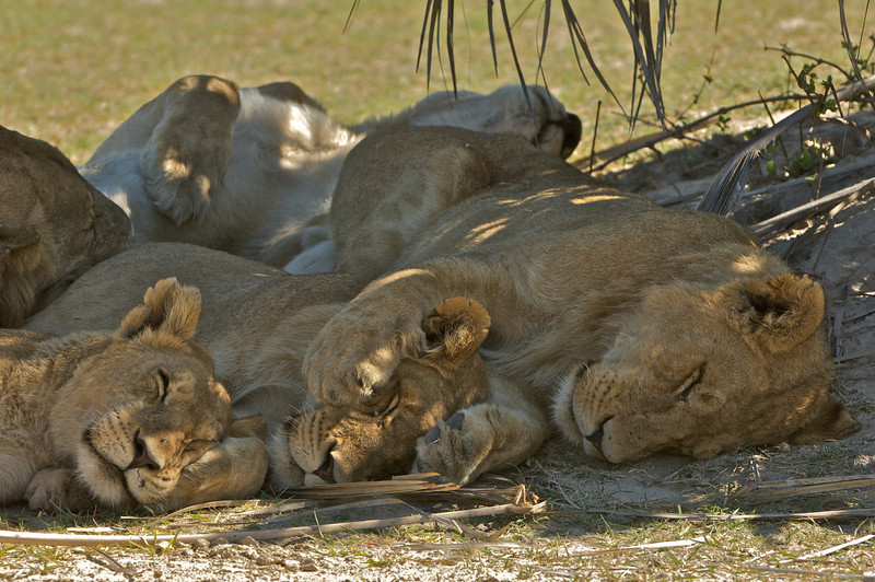 The Boys Napping; Young Lions in Botswana