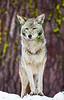 coyote7258(8X12)