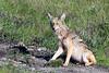 Coyote_0633