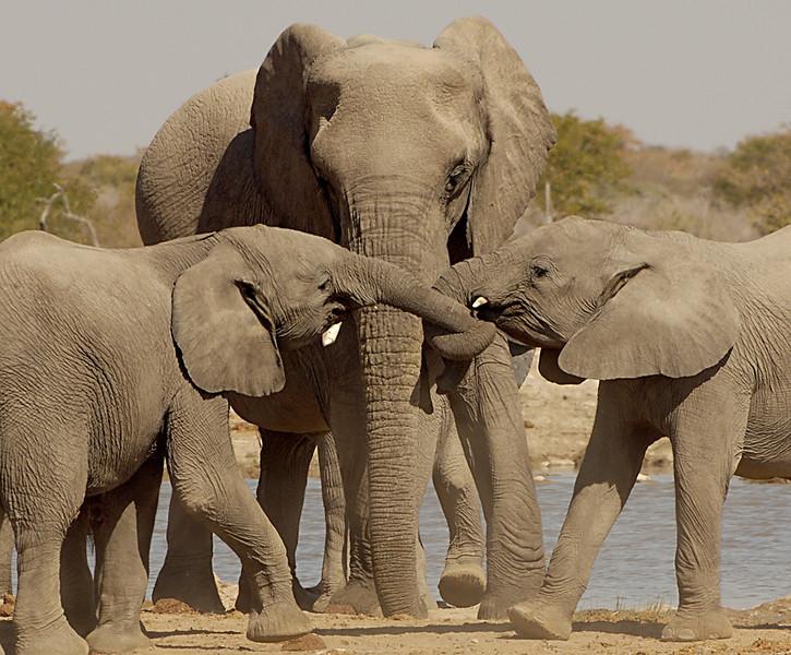 Tug-o-War, Etosha National Park, Namibia