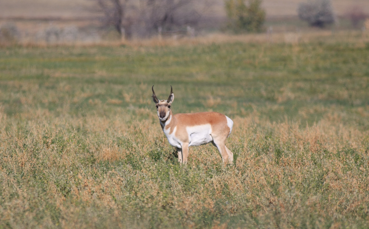 Prong Horned Antelope