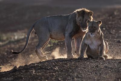 Lejonpar i motljus