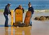 Marine Mammal Center volenteers rescuing a juvenile Elephant Seal - Mirounga angustirostris - on San Carlos Beach, Monterey Ca