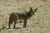 Coyote1696