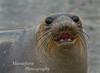Elephant seal -  Mirounga angustirostris