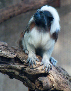 Cotton Topped Tamarin Monkey