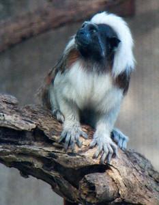Cotton Topped Tamarin Monkey