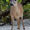 Key Deer. No Name Key,Florida