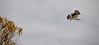 Osprey in flight over Kings Bay, Crystal River - Feb 4, 2010