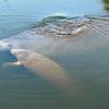 Manatees<br /> Merritt Island, Florida<br /> 01723c