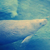 Manatees<br /> Blue Spring State Park<br /> Orange City, Florida<br /> 095-4396e