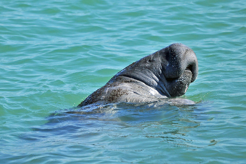 Manatee in the Surf<br /> Sebastian Inlet, Florida<br /> 032-9023a