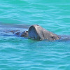 Manatees in the Surf<br /> Sebastian Inlet, Florida<br /> 139-5870a