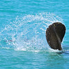 Manatee Tail in the Surf<br /> Sebastian Inlet, Florida<br /> 139-5892a