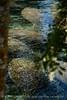 Manatees, 3 Sisters Springs, Crystal River FL (1)