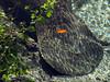 Manatees, 3 Sisters Springs, Crystal River FL (4)