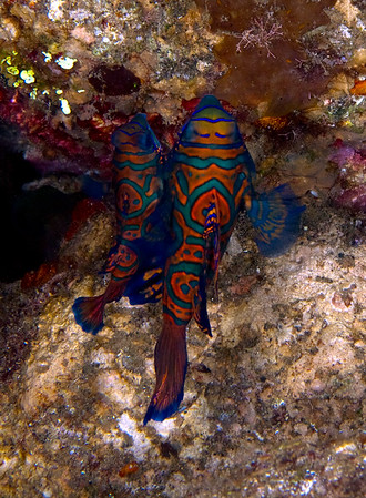 Mandarin Fish of the Banda Sea