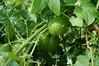 Marah, or wild cucumber