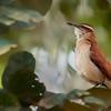 Furnarius figulus<br /> Casaca-de-couro-da-lama<br /> Wing-banded Hornero<br /> Hornero de ceja blanca