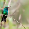 Chlorostilbon lucidus<br /> Besourinho-de-bico-vermelho<br /> Glittering-bellied Emerald<br /> Picaflor verde - Mainumby hovyû