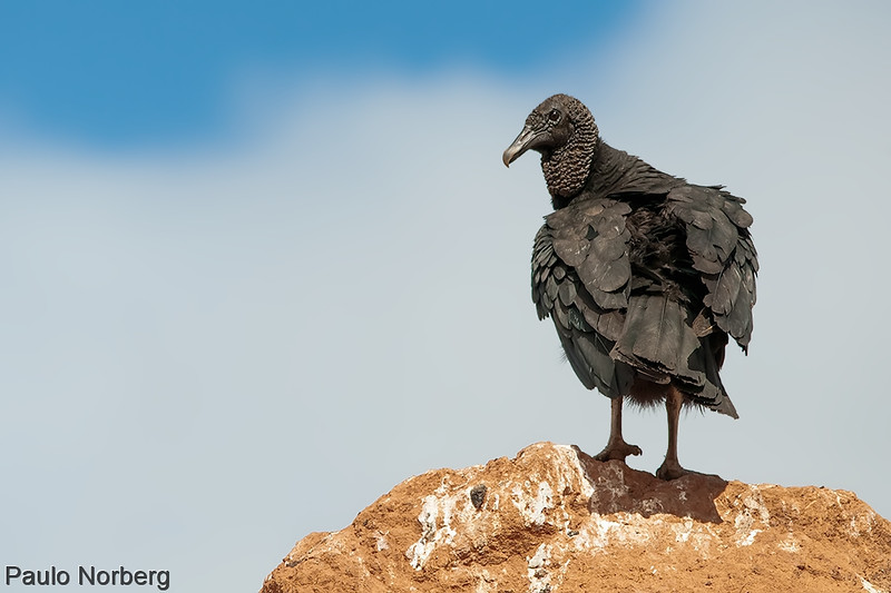 Coragyps atratus<br /> Urubu<br /> Black Vulture<br /> Cuervo negro - Yyvu hû