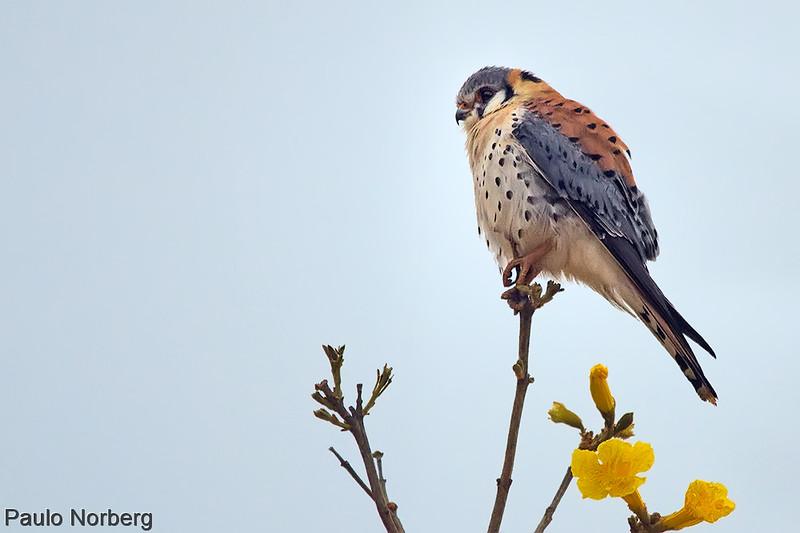 Falco sparverius<br /> Quiriquiri<br /> American Kestrel<br /> Halconcito - Kiri kiri'i
