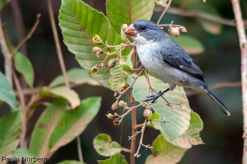 Sporophila leucoptera<br /> Patativa-chorão<br /> White-bellied Seedeater<br /> Corbatita blanco - Guyra juru tu'î morotî