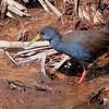 Pardirallus nigricans<br /> Saracura-sanã<br /> Blackish Rail<br /> Gallineta negruzca - Ñahana sana