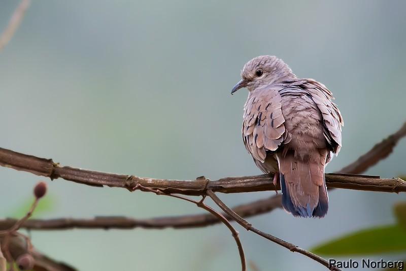Columbina talpacoti<br /> Rolinha<br /> Ruddy Ground-Dove<br /> Tortolita colorada - Pyku'i pytâ
