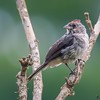 Lanio pileatus<br /> Tico-tico-rei-cinza<br /> Pileated Finch<br /> Granero cabecita de fósforo