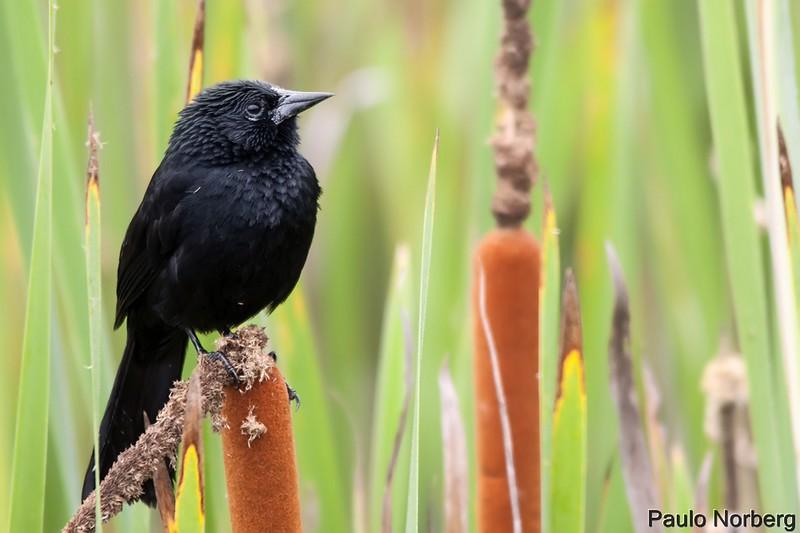 Anumara forbesi<br /> Anumará<br /> Forbes's Blackbird<br /> Turpial de Forbes