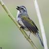 Saltator similis<br /> Trinca-ferro-verdadeiro<br /> Green-winged Saltator<br /> Pepitero verdoso - Havía tyvyta hovy