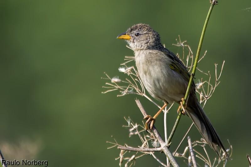 Emberizoides herbicola<br /> Canário-do-campo<br /> Wedge-tailed Grass-Finch<br /> Coludo grande - Havía kapi'i