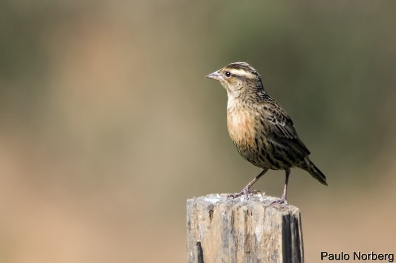 Sturnella superciliaris<br /> Polícia-inglesa-do-sul fêmea<br /> White-browed Blackbird female<br /> Pecho colorado - Chopí tyvytá