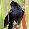 Anumara forbesi<br /> Anumará - em display<br /> Forbes's Blackbird<br /> Turpial de Forbes