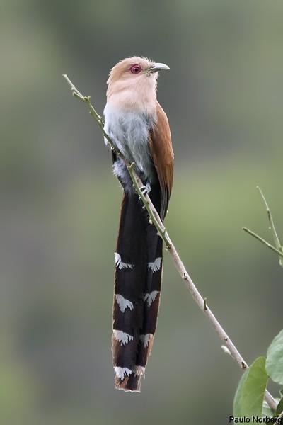 Piaya cayana<br /> Alma-de-gato<br /> Squirrel Cuckoo<br /> Tingazú - Tingasu