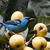 Dacnis cayana<br /> Saí-azul<br /> Blue Dacnis<br /> Saí azul - Sai hovy