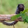 Callithrix penicillata<br /> Sagui-de-tufos-pretos<br /> Black-tufted marmoset<br /> Mico-estrella