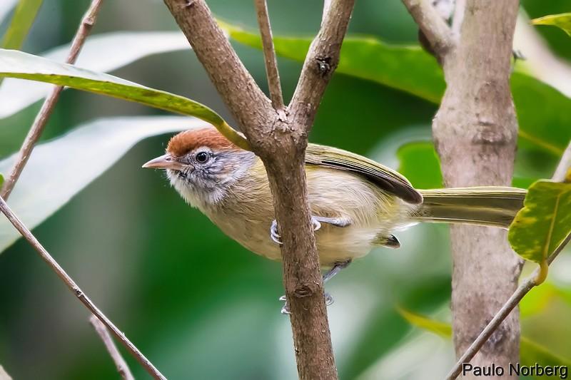 Hylophilus amaurocephalus<br /> Vite-vite-de-olho-cinza<br /> Gray-eyed Greenlet<br /> Chiví ojo gris