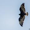 Geranoaetus albicaudatus<br /> Gavião-de-rabo-branco imaturo<br /> White-tailed Hawk immature<br /> Aguilucho alas largas - Kurukuturi