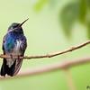 Amazilia lactea<br /> Beija-flor-de-peito-azul<br /> Sapphire-spangled Emerald<br /> Picaflor esmeralda de pecho azul